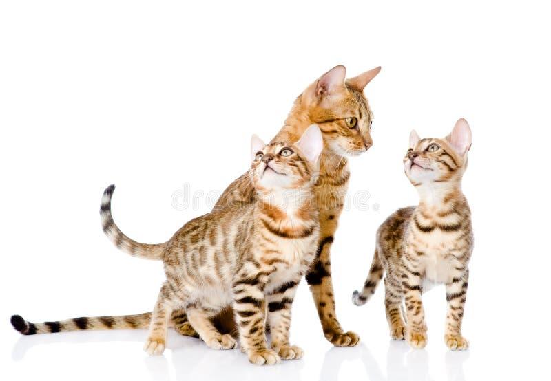 Wenige Bengal-Kätzchen und Mutterkatze Auf Weiß stockfotografie