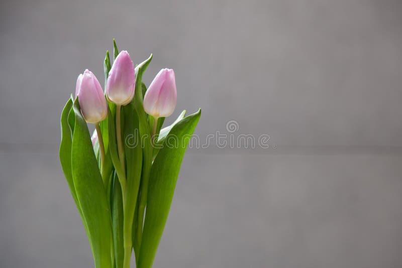 Wenige rosa Tulpen blüht auf grauem abstraktem Hintergrund Lokalisierte Blumen auf einem Unschärfehintergrund mit Kopienraum stockfoto