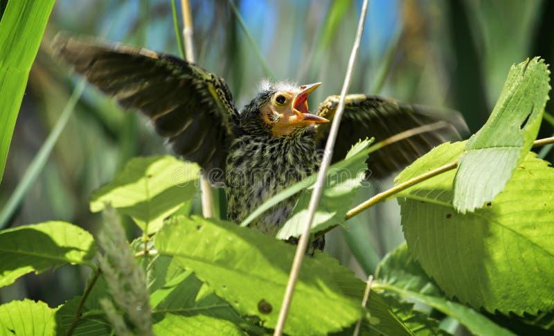 Wenige Tagesalter rotgeflügelter schwarzer Vogel lizenzfreie stockbilder