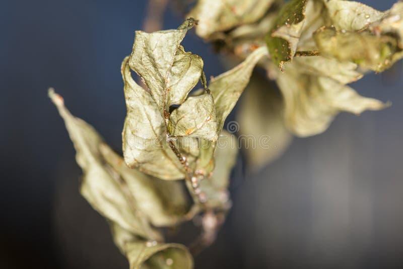 Wenige verwelkte Blätter stockbilder