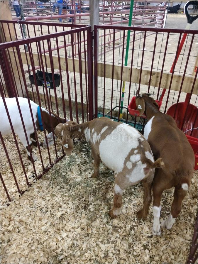 Animals At The WV State Fair Editorial Photo - Image of cows