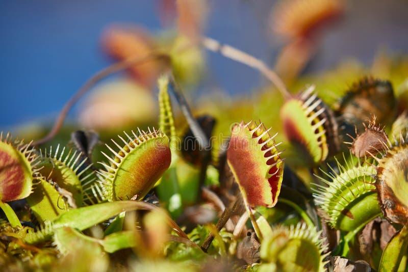 Wenus flytrap mięsożerna roślina fotografia stock