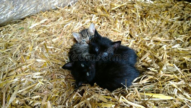 Werden kleines entzückendes Kätzchen drei gegeneinander auf das Stroh im Dorf gedrückt stockfoto