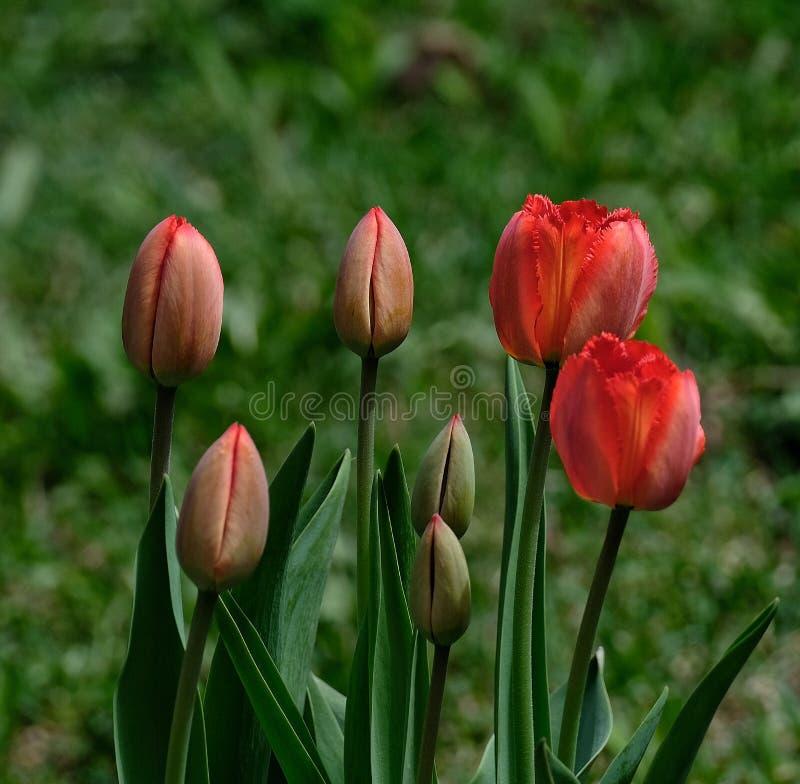 Werdene schöne rote Blumen der Frühlings-Tulpen mit unscharfem grünem Hintergrund stockbilder