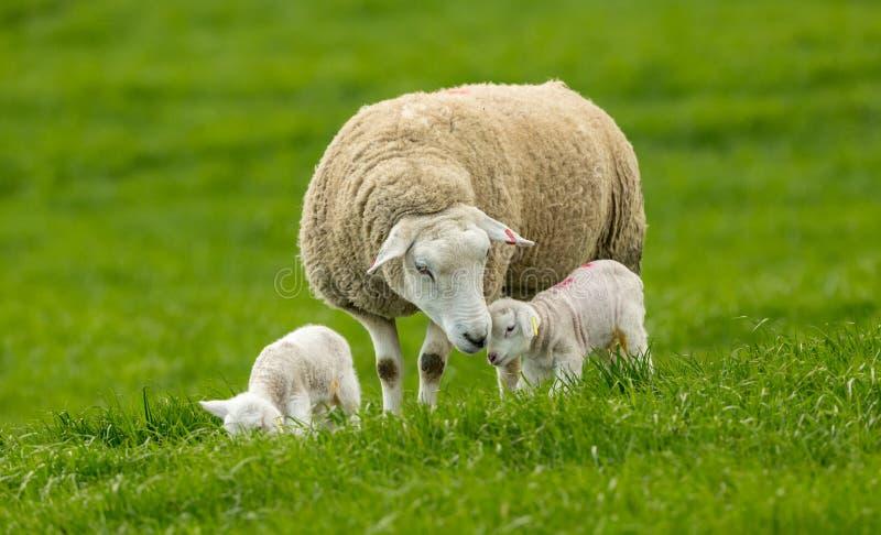 Werfenzeit Texel-Mutterschaf mit ihren zwei neugeborenen L?mmern lizenzfreie stockfotos