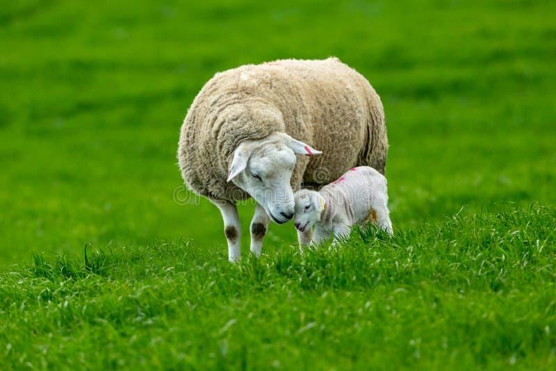 Werfenzeit, Texel-Mutterschaf mit neugeborenem Lamm lizenzfreie stockbilder