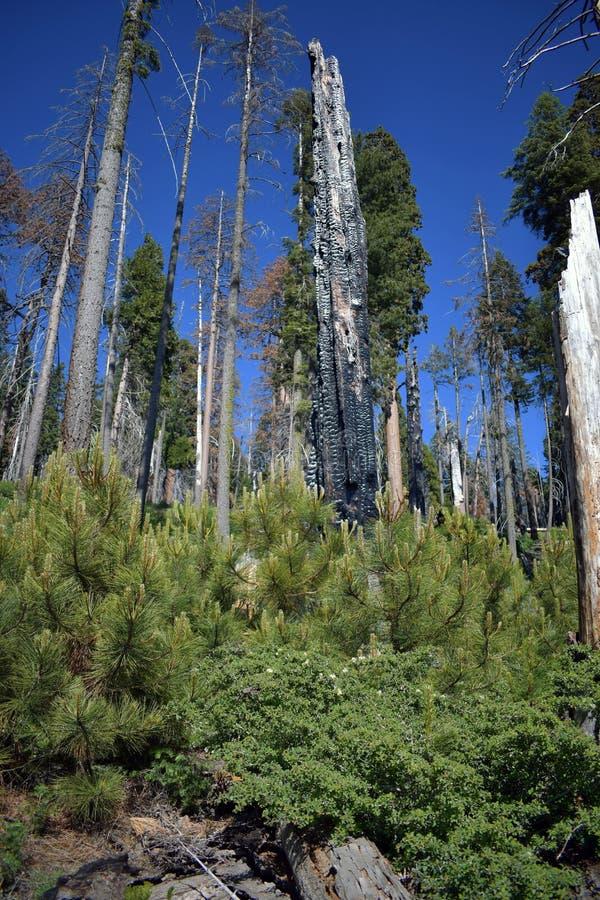 Werkelijk gebrande lange bomen royalty-vrije stock afbeeldingen