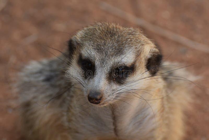 Werkelijk Leuk Gezicht van een Meerkat met Distinctieve Noteringen royalty-vrije stock fotografie