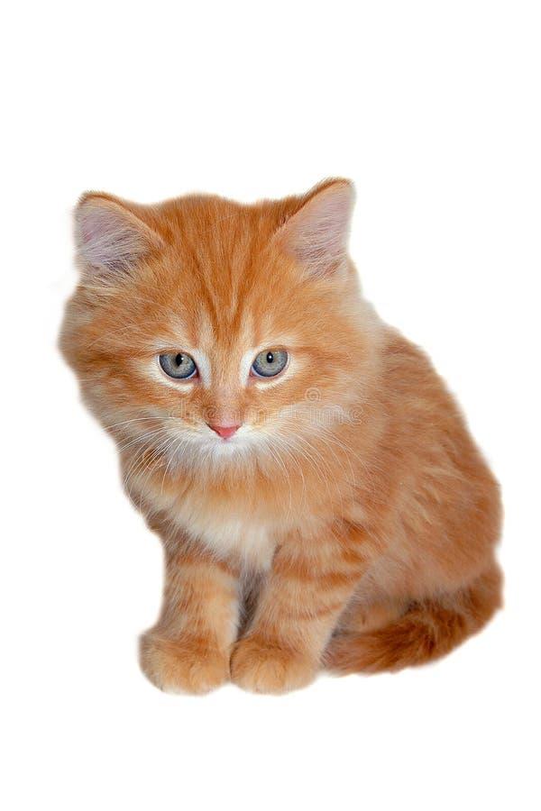 Werkelijk leuk rood katje stock afbeeldingen
