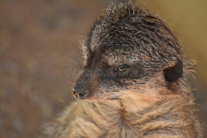 Werkelijk Leuke Meerkat met een Beetje van Vuil op Zijn Neus stock foto