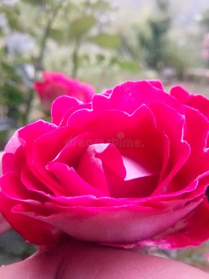 Werkelijk toe beutifull nam de bloem van royalty-vrije stock fotografie