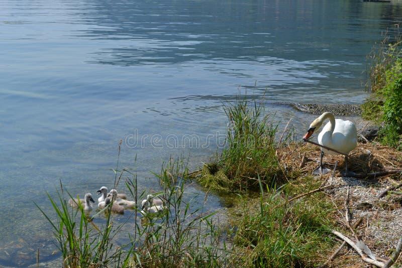 Werkende leuke volwassen witte zwaan en zijn familie royalty-vrije stock afbeelding