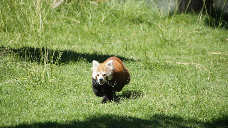 In werking stellend rode panda draag royalty-vrije stock afbeelding