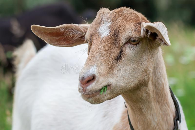 Wery nice anglo nubian goat royalty free stock image