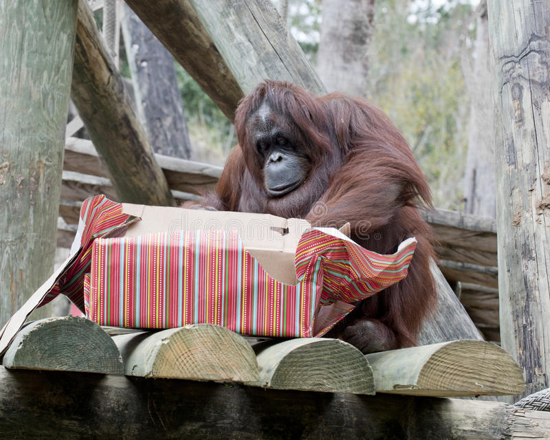 Wesoło boże narodzenia, Orangutan obraz royalty free