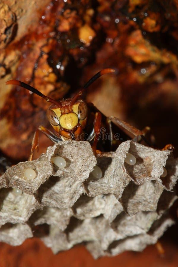 Wesp bij bijenkorf stock afbeelding