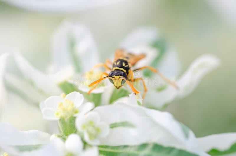 Wesp dichte zit omhooggaand op een bloem, natuurlijke achtergrond stock fotografie