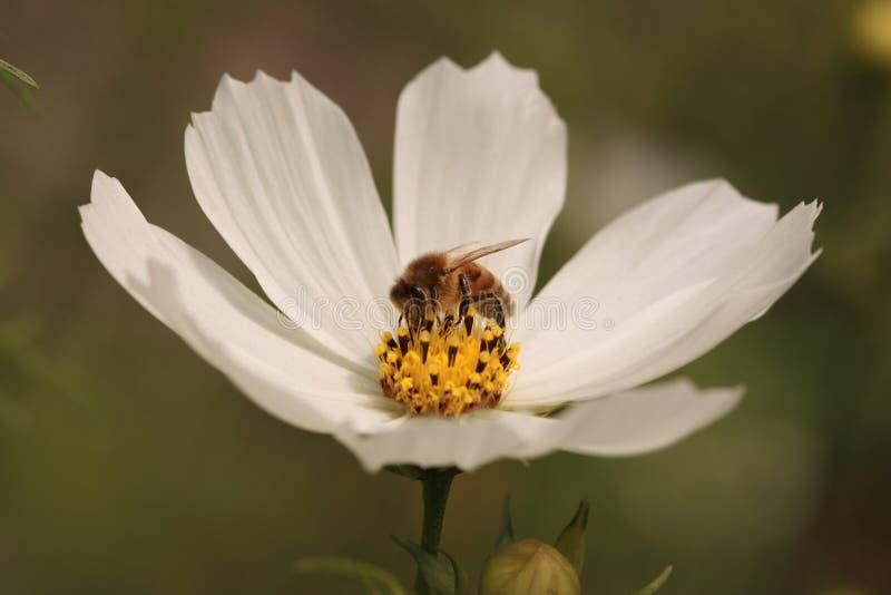 Wesp die Nectar zoeken stock afbeeldingen