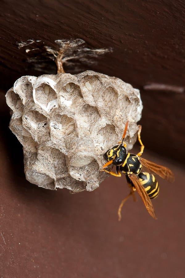 Wesp, het Nest van de Wesp en Eieren stock fotografie
