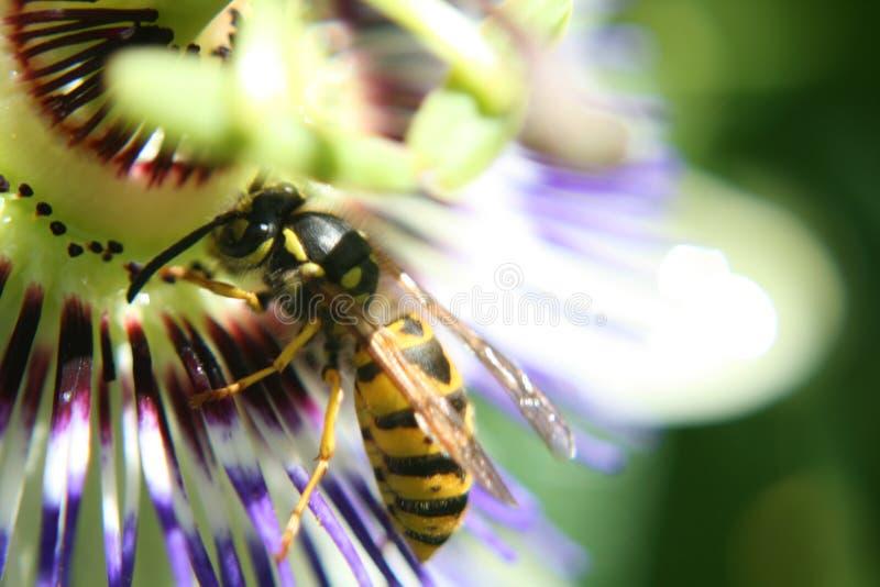 Wesp op bloem stock afbeelding