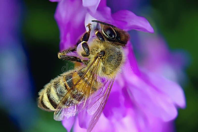 Wesp op een purpere bloem in de lente royalty-vrije stock afbeelding