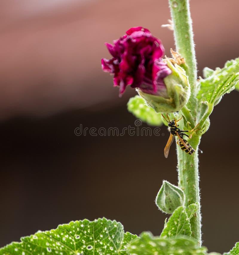 Wesp op een wilde pioenbloem stock foto