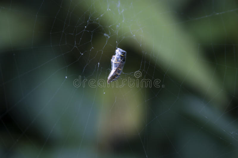Wesp in spider web. Captured wesp in spider web royalty free stock images