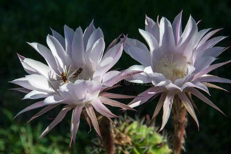 Wespe auf einem Blumenkaktus stockbilder