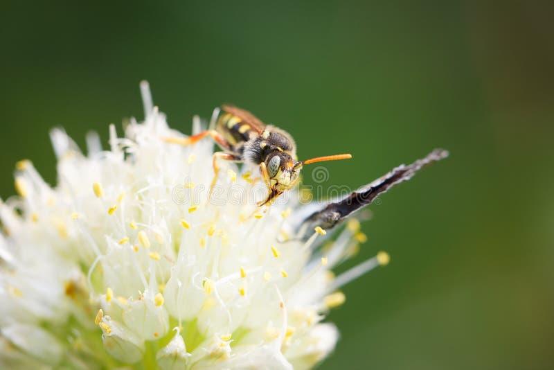 Wespe auf einem Blumenmakro stockfotos
