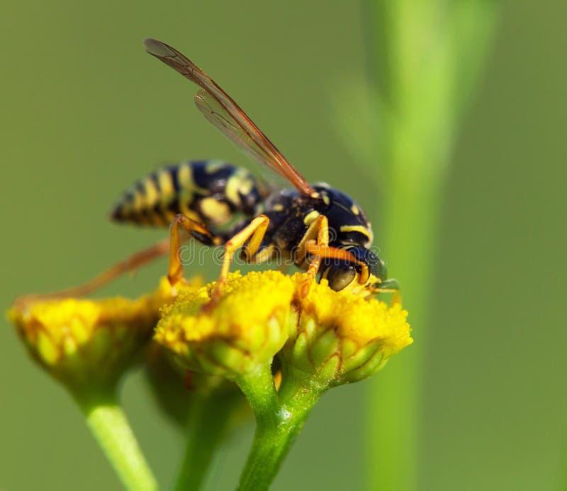Wespe bestäubt von der gelben Blume im lateinischen Vespula stockfoto