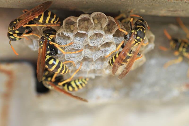 Wespen auf Nest stockfotos