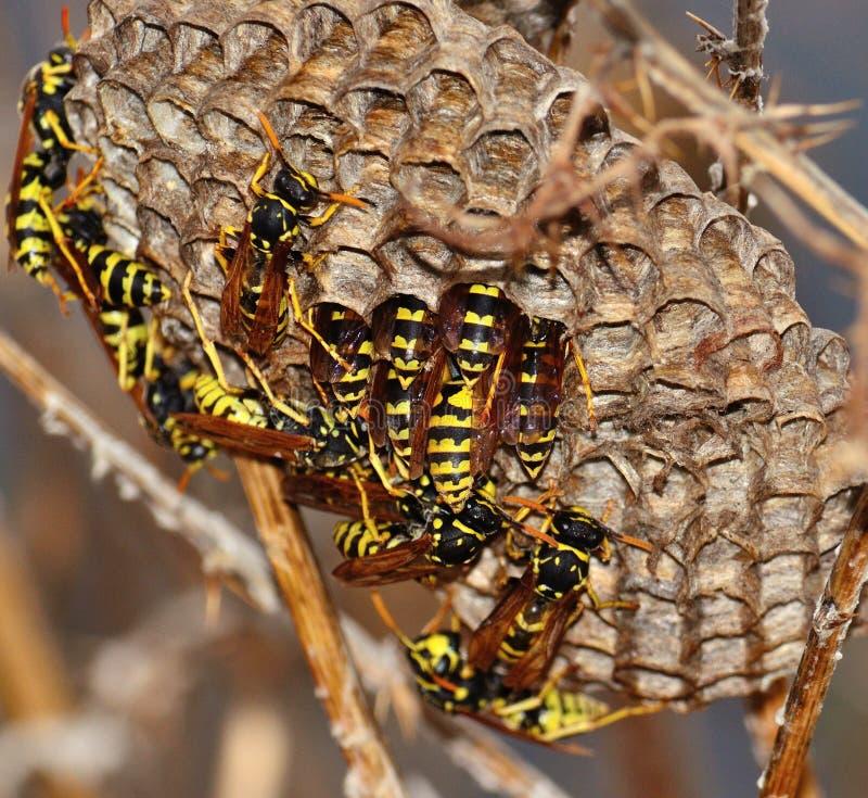 wespen binnen zijn nest stock foto afbeelding bestaande uit roofdieren 46926084. Black Bedroom Furniture Sets. Home Design Ideas