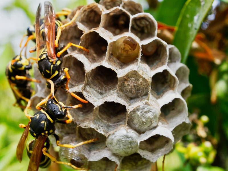 Wespen die Nest met Rijpende Larven Zichtbaar in ??n Open Cel neigen stock foto's