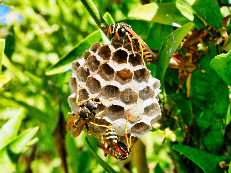 Wespen, die Nest mit dem Reifen von den Larven sichtbar in einer offenen Zelle neigen lizenzfreie stockfotos