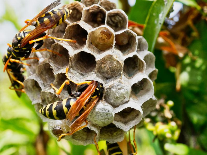 Wespen, die Nest mit dem Reifen von den Larven sichtbar in einer offenen Zelle neigen stockfoto