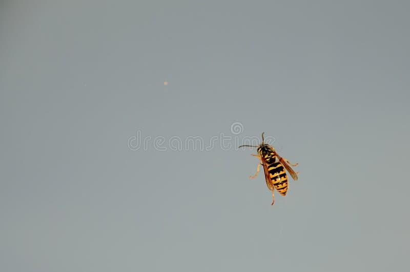 Wespen die op een ruit, tegen een bewolkte hemel kruipen royalty-vrije stock fotografie