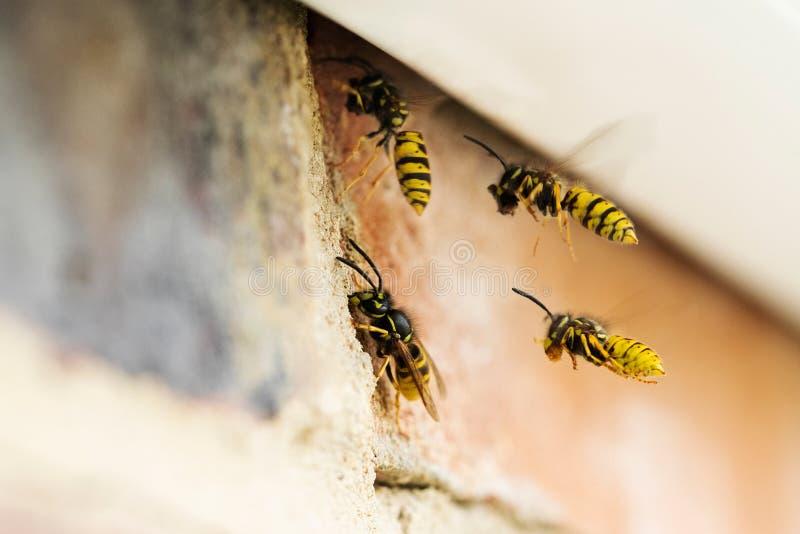 Wespen, die Problem durch das Errichten des Nestes unter Dach des Hauses verursachen stockfotografie
