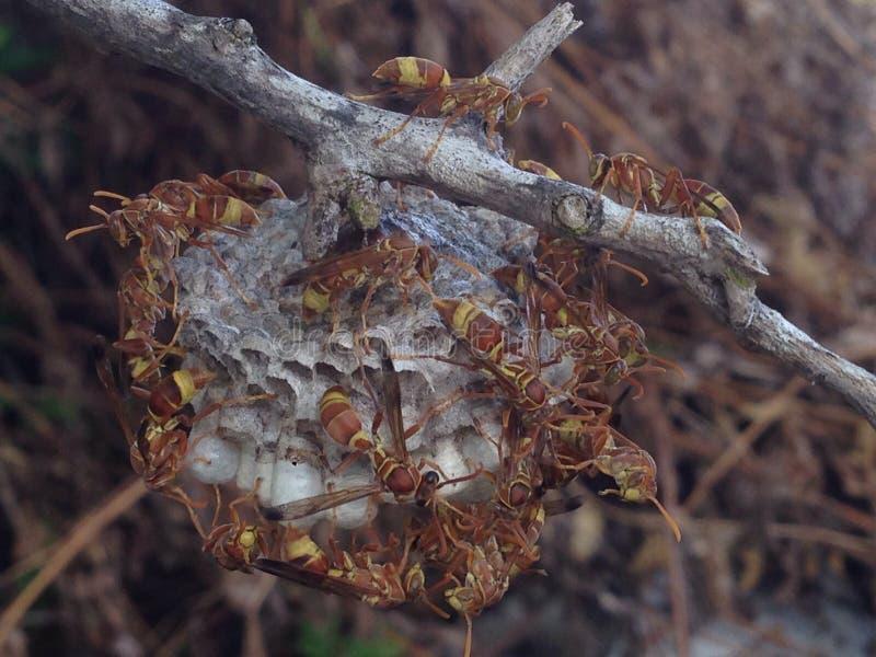 Wespen in het Eiland van de Maldiven stock foto