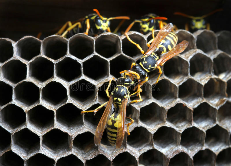 Wespen in het nest stock foto
