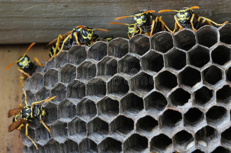 Wespen im Nest lizenzfreies stockfoto