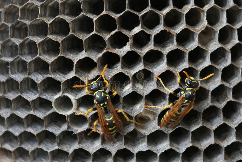 Wespen im Nest lizenzfreie stockfotografie