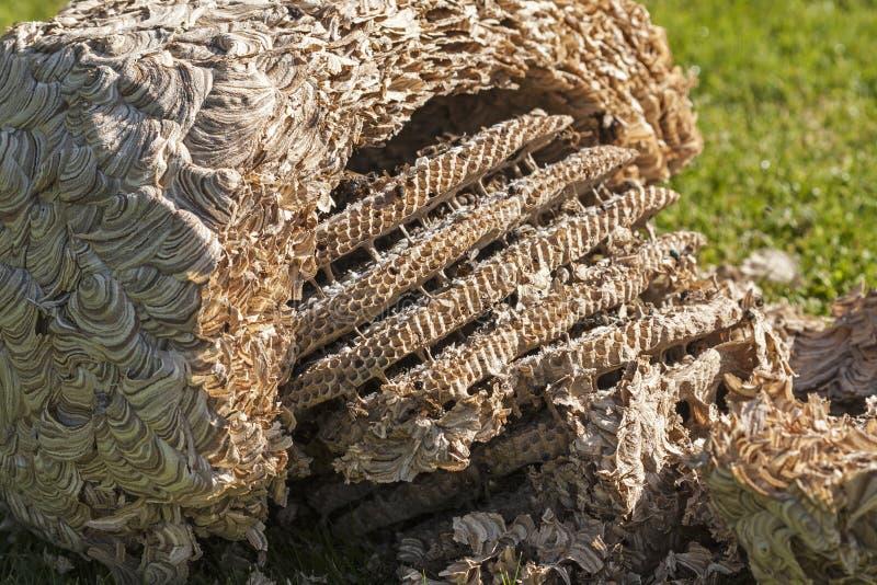wespen nest stockfoto bild von bienenstock nest wespe 36498920. Black Bedroom Furniture Sets. Home Design Ideas
