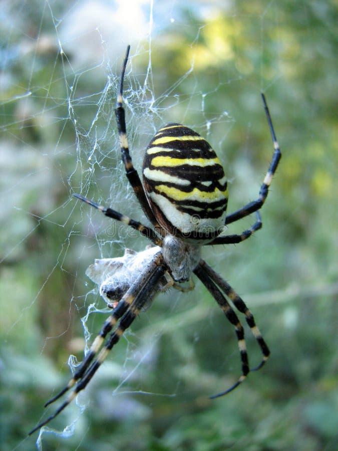 Wespen-Spinne stockfoto
