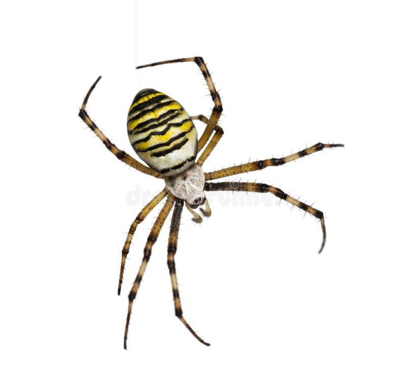 Wespen-Spinne, Argiope bruennichi, hängend an der Seide gegen weißes b lizenzfreies stockbild