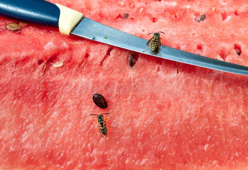Wespen und Messer auf Wassermelone stockbild