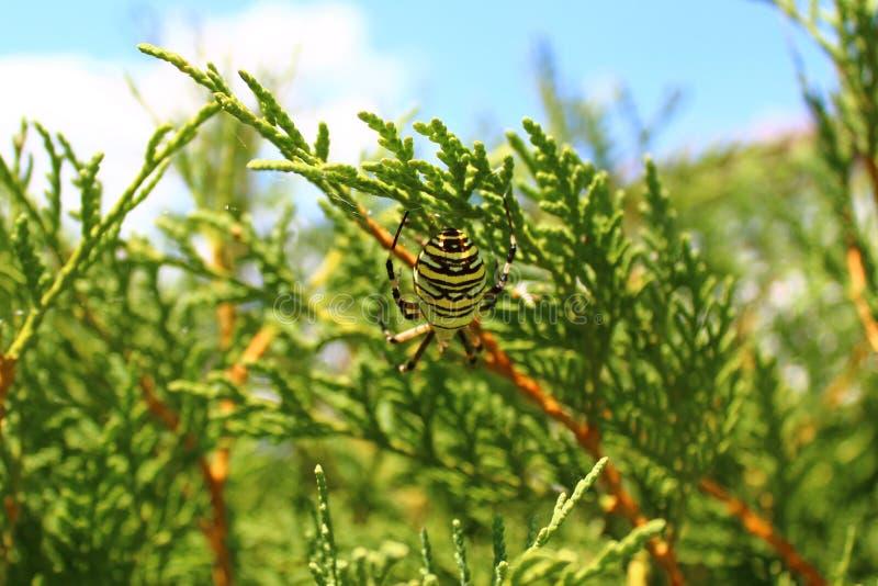 Wespenspinne im Garten lizenzfreies stockbild