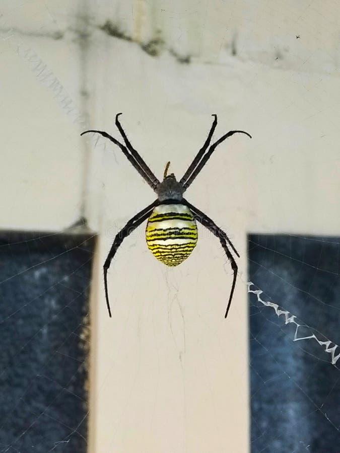 Wespenspinne mit den gelben und schwarzen Streifen auf seinem Unterleib in seinem Netz lizenzfreie stockfotos