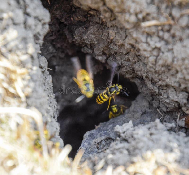 Wespenvlieg in hun nestmink met een espnest ondergronds royalty-vrije stock foto