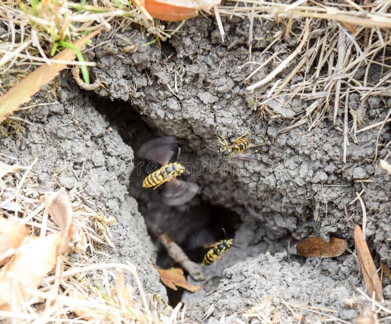Wespenvlieg in hun nestmink met een espnest ondergronds royalty-vrije stock afbeeldingen