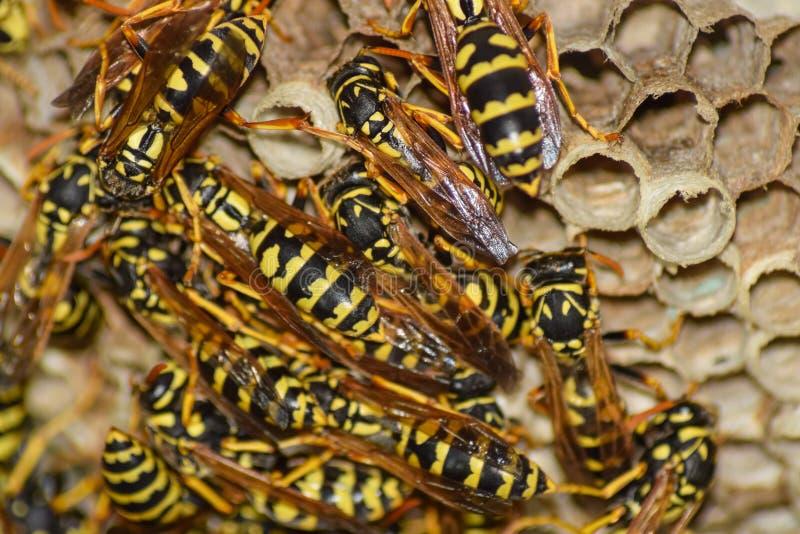 Wespnest met wespen die op het zitten Wespenpolist het nest van a stock fotografie